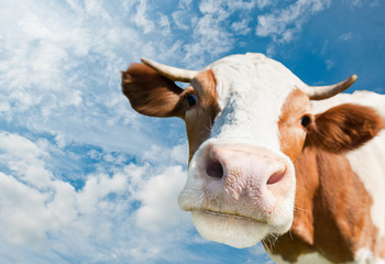 Poster Cow Brown cow (focus on the nose) against blue sky background