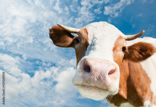 Fototapete Brown cow (focus on the nose)  against blue sky background