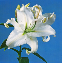 White lily on blue background