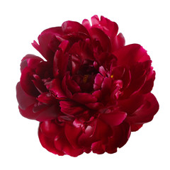 Burgundy peony flower isolated on white background.