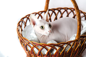 Sphinx cat in a basket
