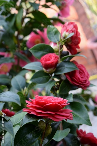 Pianta di camelia rossa fiorita stock photo and royalty for Pianta camelia