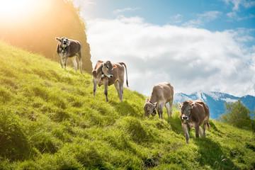 Landwirtschaft im Allgäu, vier Braunvieh-Rinder an einem steilen Hang im Sonnenschein