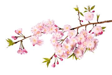Papiers peints Fleur de cerisier Rosa Kirschblüte vor weißem Hintergrund als Freisteller