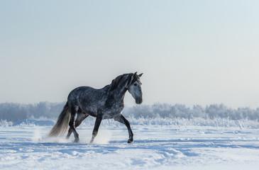 Wall Mural - Thoroughbred Spanish gray horse walks on freedom