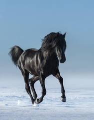 Fototapete - Free black horse in the field in the winter.