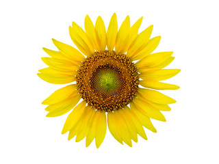 Blooming sunflower isolated on white background.