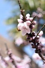 Bee on Peach tree blossom