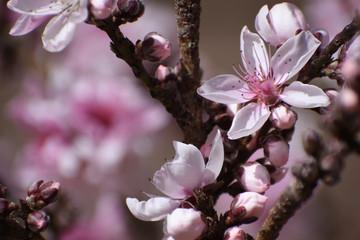 Peach blossoms, bonfire peach tree