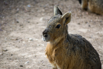 Patagonian mara (Dolichotis patagonum) is a large somewhat rabbit-like rodent found in open and semi-open habitats in Argentina, including large parts of Patagonia.