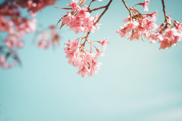 Wall Mural - Beautiful vintage sakura tree flower (cherry blossom) in spring. retro color tone style.