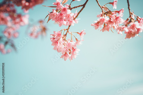 Wall mural Beautiful vintage sakura tree flower (cherry blossom) in spring. retro color tone style.