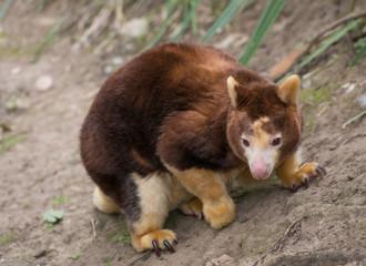 Tree Kangaroo Endemic Native Australian Endangered Animal