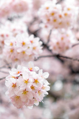 Wall Mural - Soft tone of sakura or cherry blossom flower full bloom in spring season.