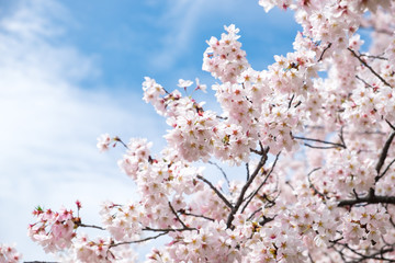 Wall Mural - Sakura or cherry blossom flower full bloom in blue sky  spring season. Vintage filte.