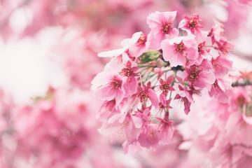 Fotomurales - Sakura or cherry blossom flower full bloom in blue sky  spring season. Vintage filte.