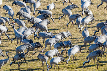 Flock of cranes looking for food on the ground