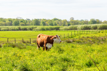 Rural view with a cow on a flowering meadow