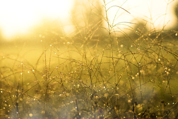 Drop dew and wild grass in the sunrise.