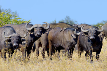 Photo sur Aluminium Buffalo Wild African buffalo bull