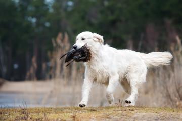 hunting golden retriever dog bringing pheasant
