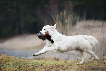 golden retriever dog bringing a pheasant on the hunt