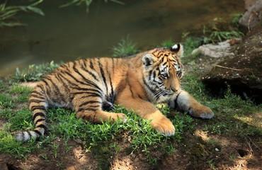 jeune tigre du Bengale