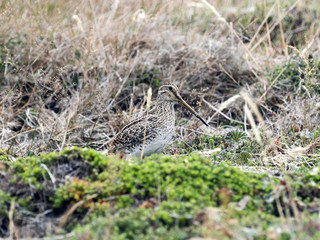 South American Snipe, Gallinago magellanica paraguaiae is endemic bird, Carcass, Falklands / Malvinas