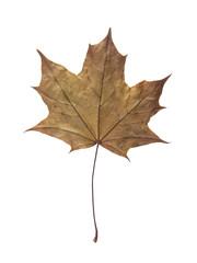 Maple leaf isolated on white background