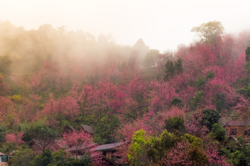 Beautiful background of pink flowers cherry blossom or sakura flower On the Moutain. with Morning fog faded.