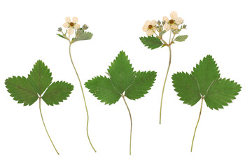 Fragaria vesca, wild strawberry, woodland strawberry. Herbarium from dried blossoming flower arranged in a row.