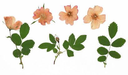 Rosa rugosa, rugosa rose, beach rose, Japanese rose, Ramanas rose. Herbarium from dried blossoming flower arranged in a row.
