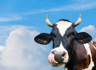 Wall Mural - Funny cow against blue sky background