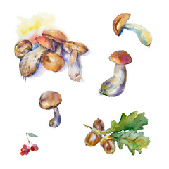 Watercolor painting. Autumn set. Oak leaves with acorns and mushrooms on white background.