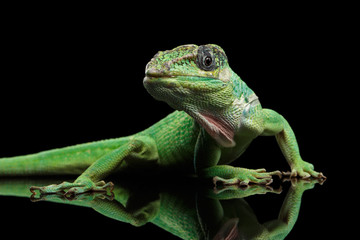 Knight anole Green lizard on Isolated Black Background