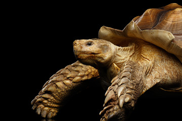 Geochelone sulcata. African turtle Spurs Isolated on Black Background