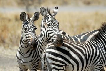 Foto op Aluminium Zebra Couple of zebras, Tarangire National Park, Tanzania