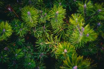 Fir tree branches Background