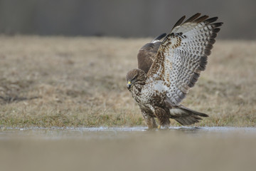Common buzzard, Buteo Buteo, knee deep in water