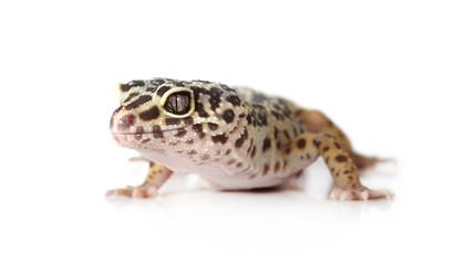Portrait of leopard gecko over white