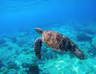Green turtle swimming in tropical seawater. Sea turtle in wild nature.