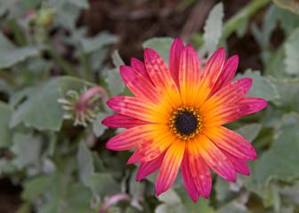 Single bloom, Gazania Rigens Rare Sun Flower Bonsai Plant, native to Africa. Vibrant magenta and yellow orange.