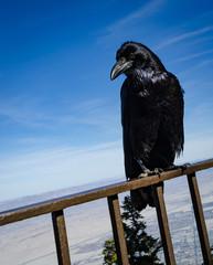 Black Raven perches on railing against Blue sky