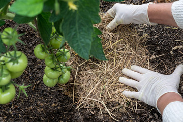 Organic mulching tomatoes. Woman is placing natural mulch (straw) around the stems of tomato, care of tomatoes concept