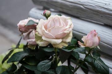 roses anciennes chez le fleuriste