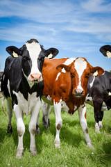 Fototapete - Ein Rotbuntes Rind und ein Holstein-Frisian Rind stehen nebeneinander