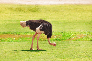 Male ostrich feeding on grassland of Africa