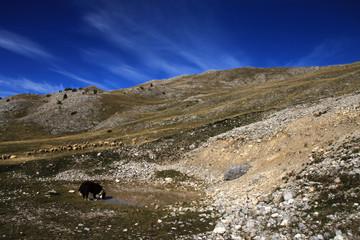 Bjelasnica mountain landscape with dog and sheeps near Sarajevo , Bosnia and Herzegovina