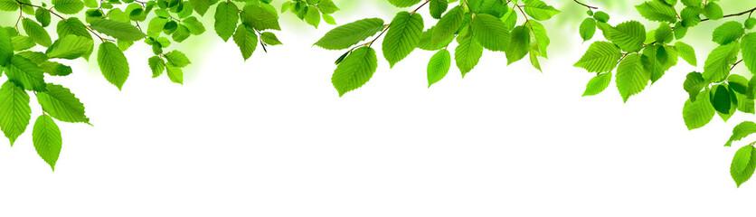 Grüne Blätter auf weiß als natürliche Verzierung, Panorama Format