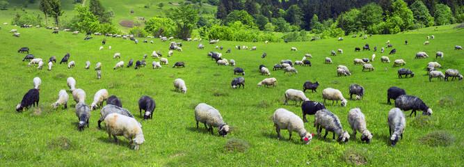 sheep Carpathians